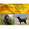 Питомник предлагает  породных щенков лабрадора